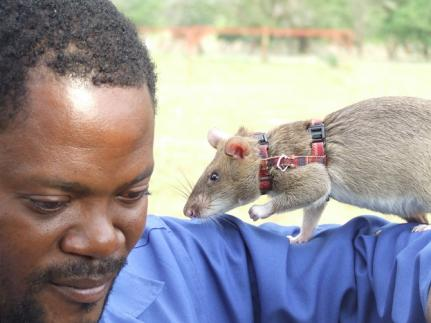 Apopo&#039;s African Hero Rats detect landmines